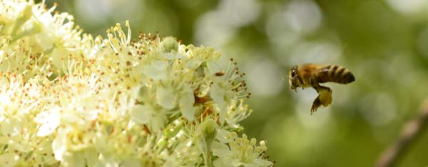Nutrient plants for Bees