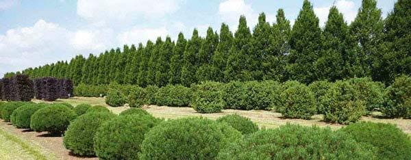 Conifer topiaries