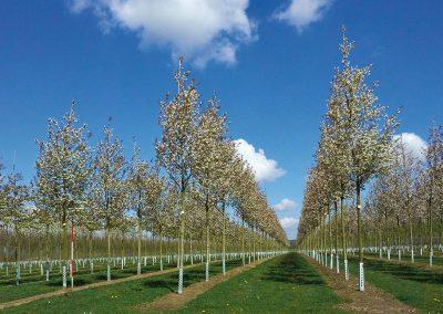 10126-Amelanchier-arborea-Robin-Hill-Frühjahr