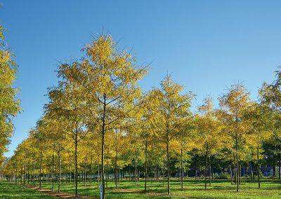 10135-Gleditsia-triacanthos-Skyline-Herbst