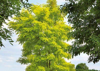 10261-Robinia-pseudoacacia-Frisia-mehrstämmig-aufgeastet