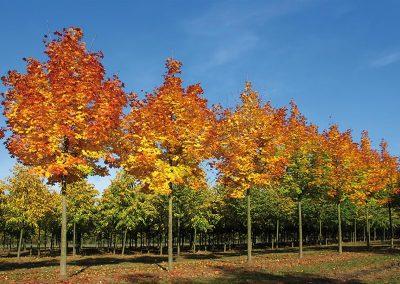 Acer-plat-Columnare-Dila-B-100-150-H-500-700-30-35-Herbst-WST--8572