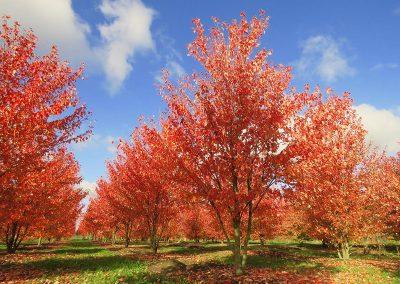 Acer-rubrum-Red-Sunset-mehrst-aufgeastet-400-500-600-2SPFE_5