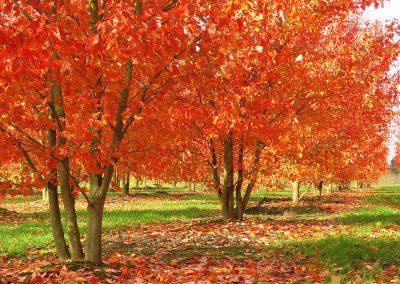 Acer-rubrum-Red-Sunset-mehrst-aufgeastet-400-500-600-2SPFE_6