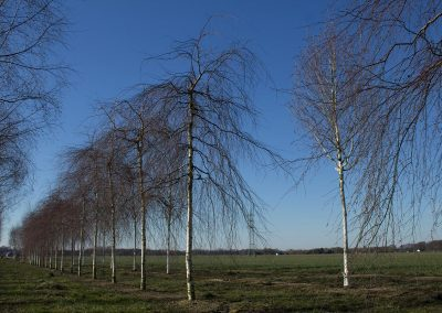 Betula-pendula-Youngii-25-30-35-WEVL