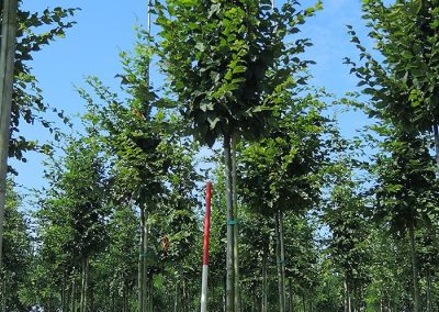 Carpinus-betulus-Beekmann-16-18-20-2SPFE_2