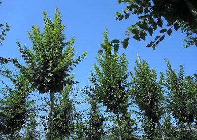 Carpinus-betulus-Beekmann-16-18-20-2SPFE_3