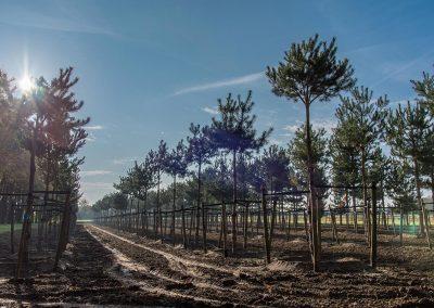 Pinus-sylvestris-Gipfelstürmer-NEREI-0669-hdr_37481192734_777440