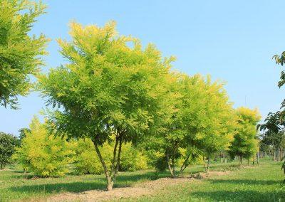 Sophora-japonica-Golden-Standard-mehrst-aufgeastet--250-300-350-2LI--(6)