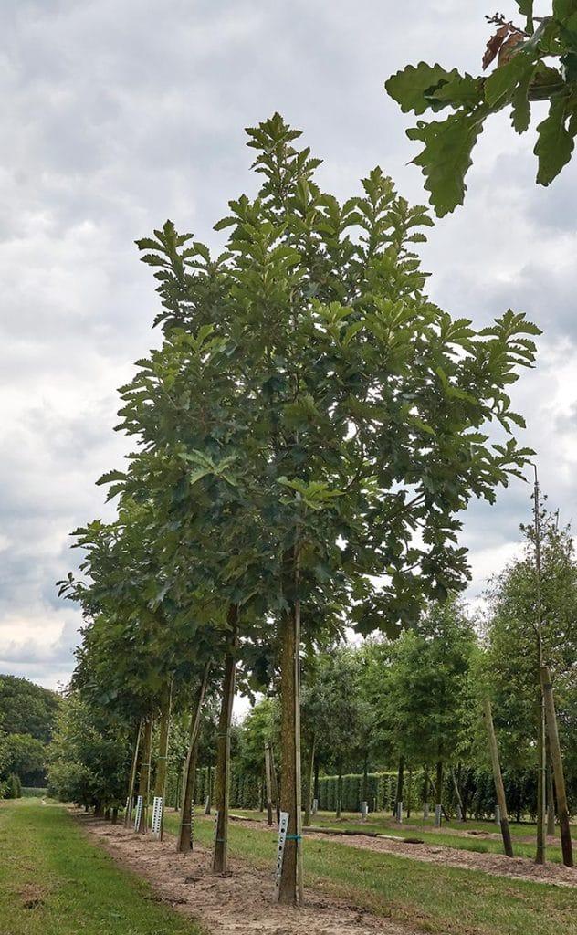 Quercus dentata