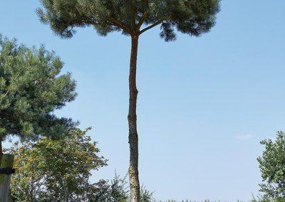 10106-Pinus-syvlestris-pinienförmig-geschnitten