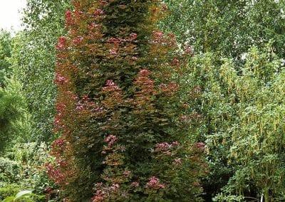 10352-Acer-platanoides-Crimson-Sentry-Holzkübel
