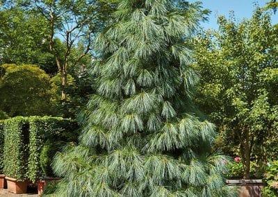 10384-Pinus-wallichiana-Holzkübel