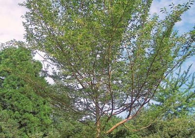 10393-Stewartia-pseudocamellia-Holzkübel