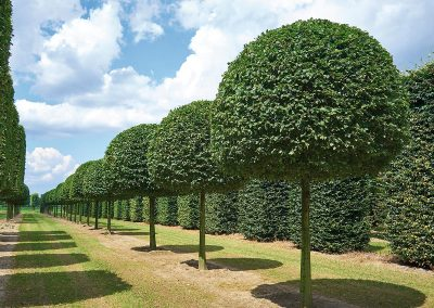 9957-Carpinus-betulus-Kugelform