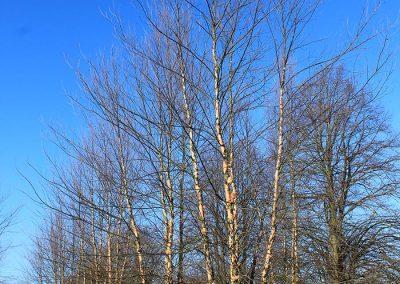 Betula-nigra-Heritage-mehrst-aufgeastet-700-800-900-2SPFE_4