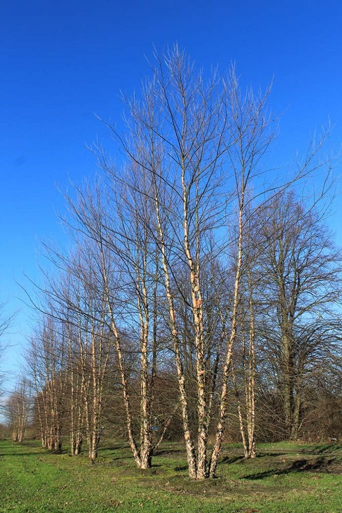 Betula nigra Heritage mehrstämmig aufgeastet