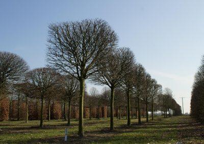 Carpinus-betulus-Kasten-50-60-70-BREYP