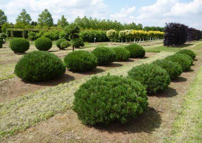 Pinus-mugo-mughus-Sol-Flachkugel-B-100-110-120-H-60-70-80-4LI-12
