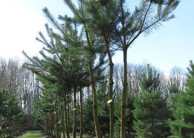 Pinus-sylvestris-200-250-300-mehrst-aufgeastet-1NETT_1_2