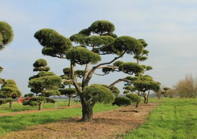 Pinus-sylvestris-Bonsai-350-400-450-2LI-(4)