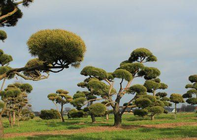 Pinus-sylvestris-Bonsai-350-400-450-2LI-(5)