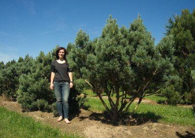 Pinus-sylvestris-Watereri-125-150-175--1BAER-(2)