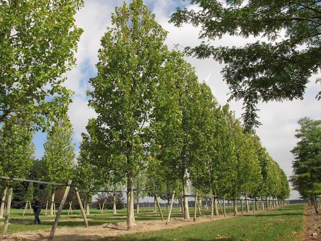 Platanus acerifolia Tremonia