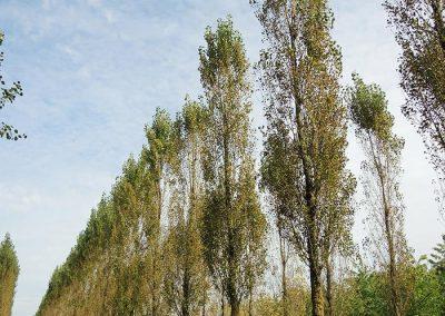 Populus-nigra-Italica-10-11-1KU-2017-09-22-(2)
