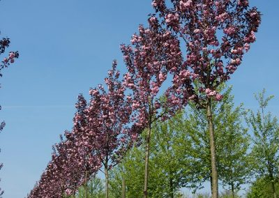 Prunus serrulata Royal Burgundy