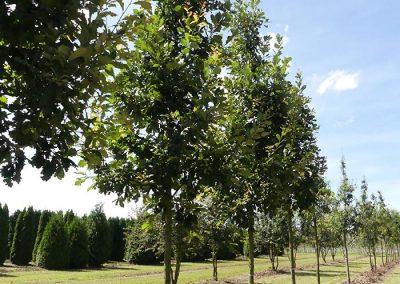 Quercus-Heritage-20-25-1BAER-(3)