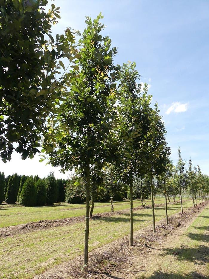 Quercus Heritage