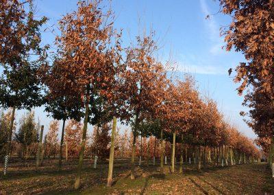 Quercus-castaneifolia-Green-Spire-20-25--1BAERR