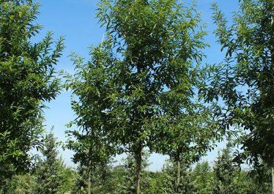 Quercus-castaneifolia-Green-Spire-20-25-30-1BAER-(1)