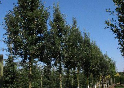 Quercus-hispanica-Fulhamensis-20-25-1BAER