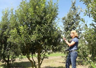 Quercus-hispanica-Fulhamensis-350-400-1BAER-2017-08-07_2