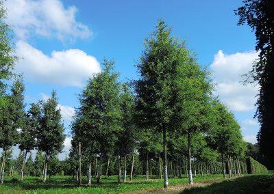 Quercus-phellos-25-30-35-1BAER_06