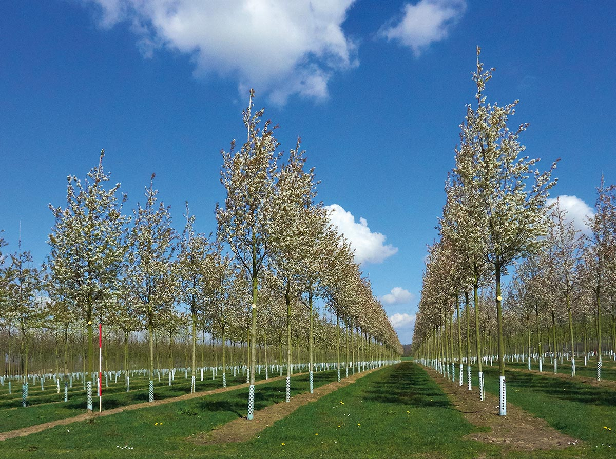 Six Superb Trees for Spring Colour   Hillier Trees   895x1200