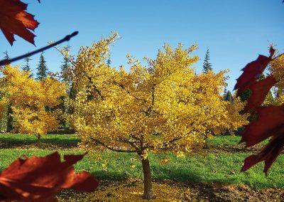 Ginkgo biloba Tubifolia Herbstfärbung