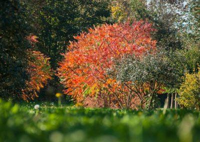Rhus typhina Herbstfärbung