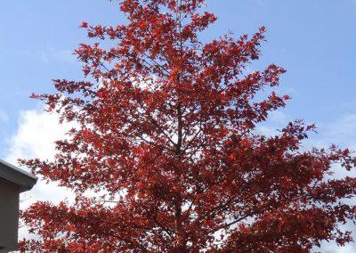 Wuppertal Quercus palustris