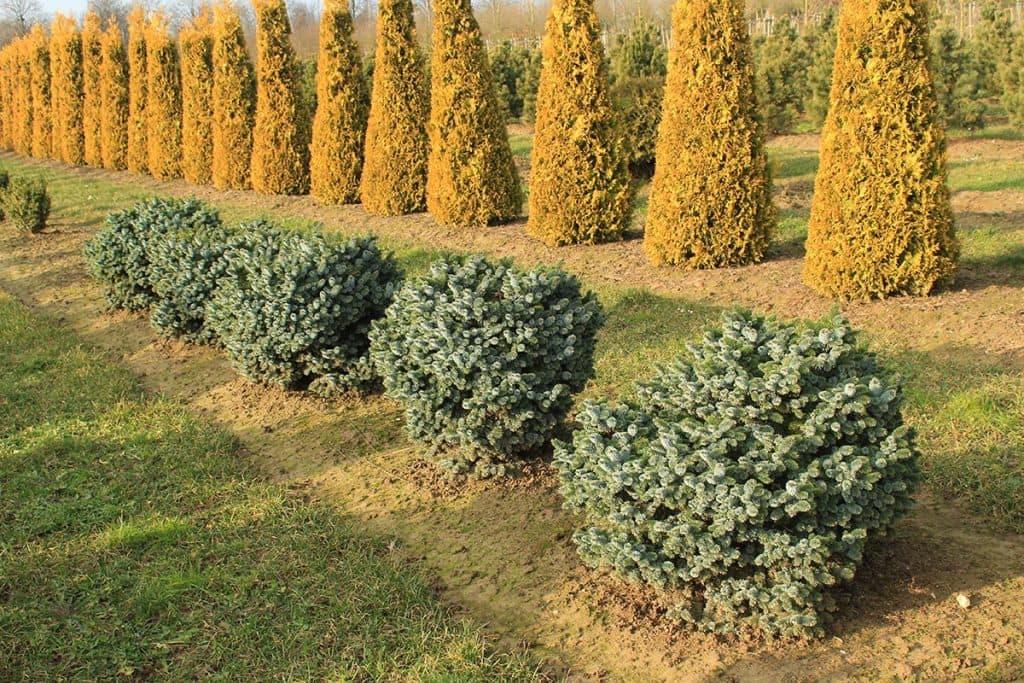 Picea sitchensis Silberzwerg