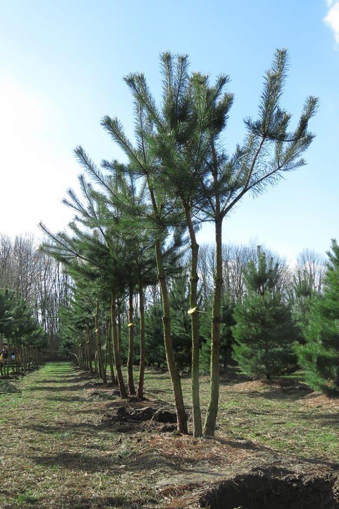 Pinus sylvestris mehrstämmig aufgeastet