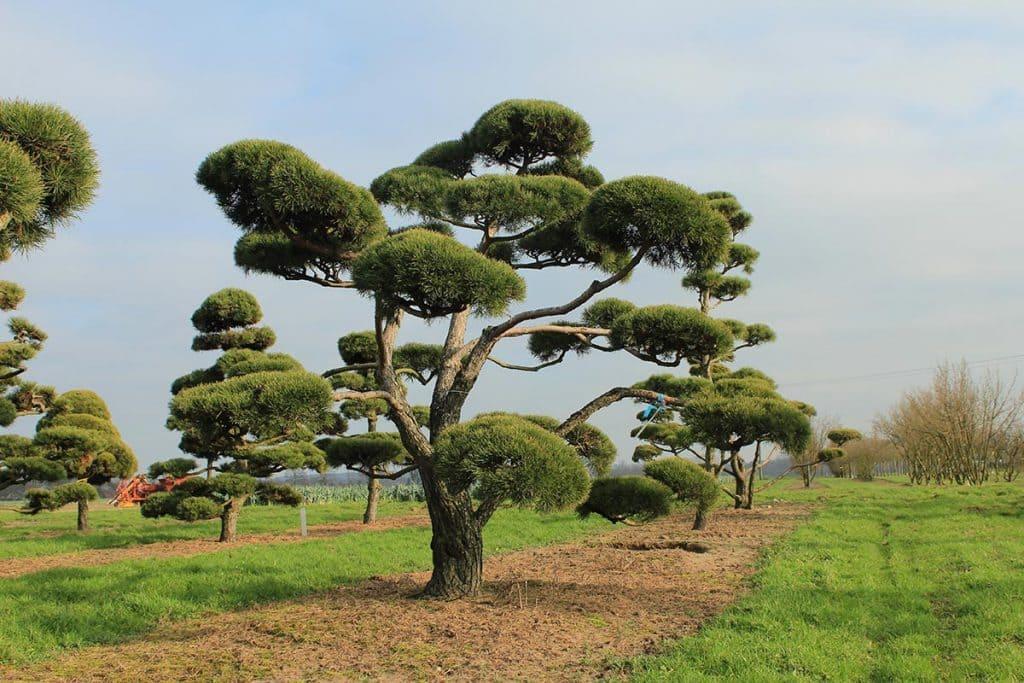 Pinus sylvestris Bonsai