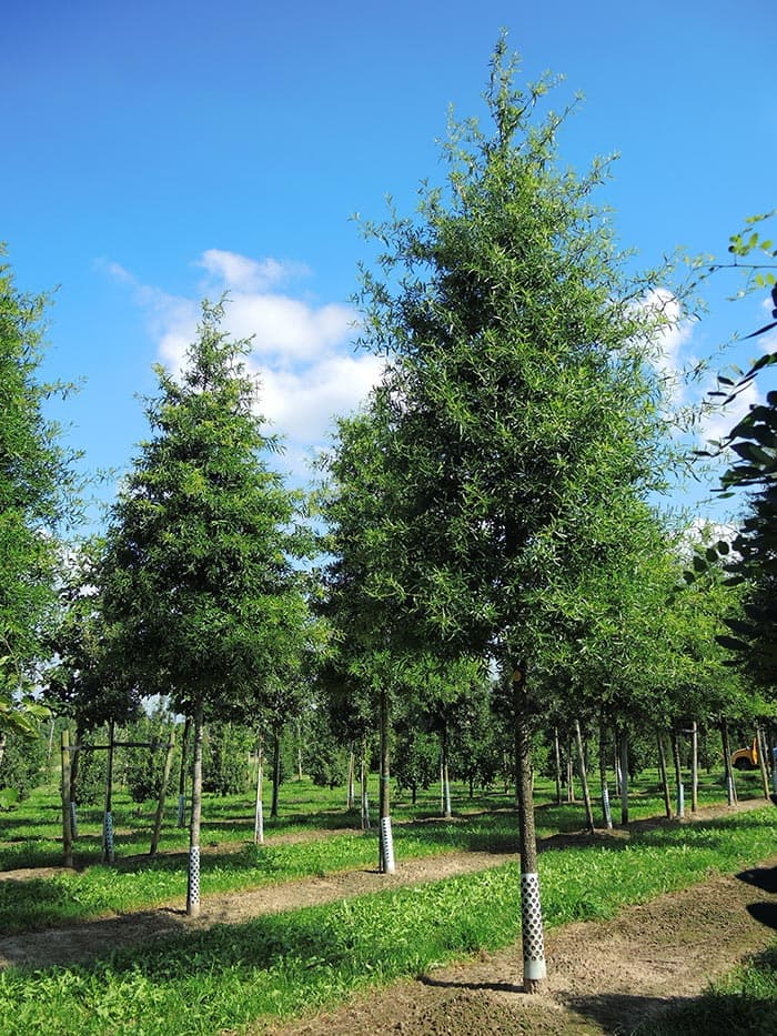 Quercus phellos