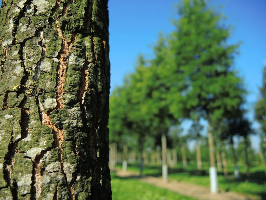 Quercus phellos Rinde